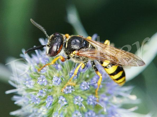 Bild: weiblicher Bienenwolf, Philanthus Triangulum, an der blauen Kugeldistel