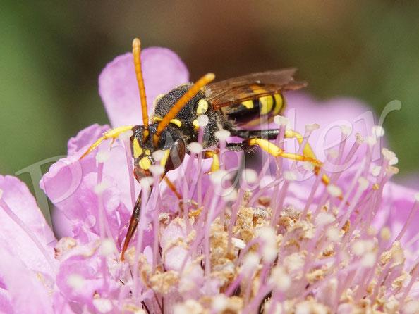Bild: eine Wespenbiene, Nomada spec., trinkt Nektar bei einer Skabiose