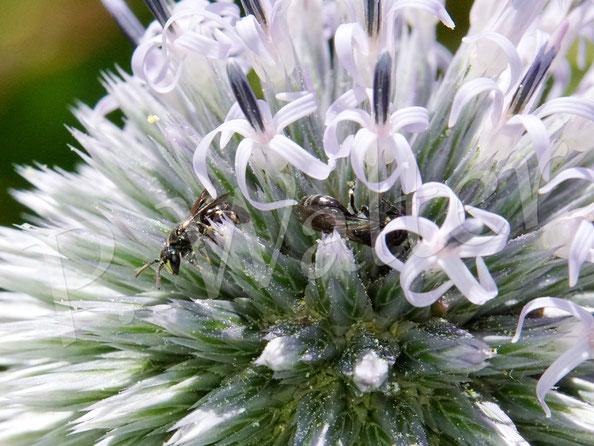 Bild: zwei Maskenbienen  Hyleaus spec., an der Kugeldistel