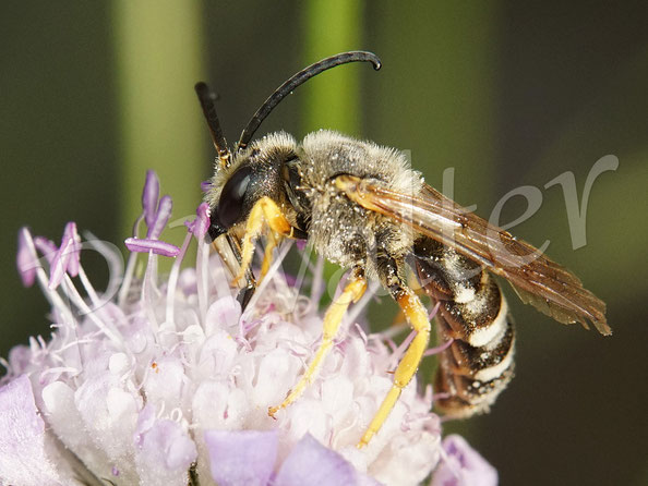 11.08.2020 : Gelbbindige Furchenbiene trinkt Nektar an einer Skabiose