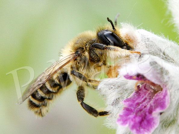 11.06.2016 : Blattschneiderbiene am Woll-Ziest