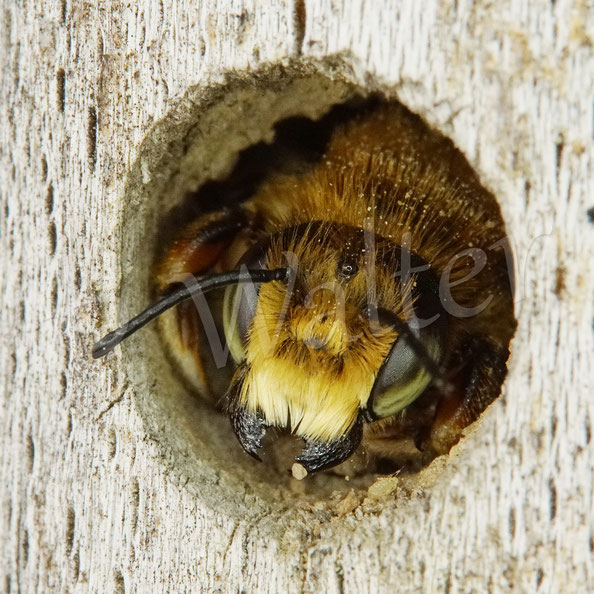 Bild: eins der Blattschneiderbienenmännchen, Megachile spec., die in den Bohrlöchern übernachten