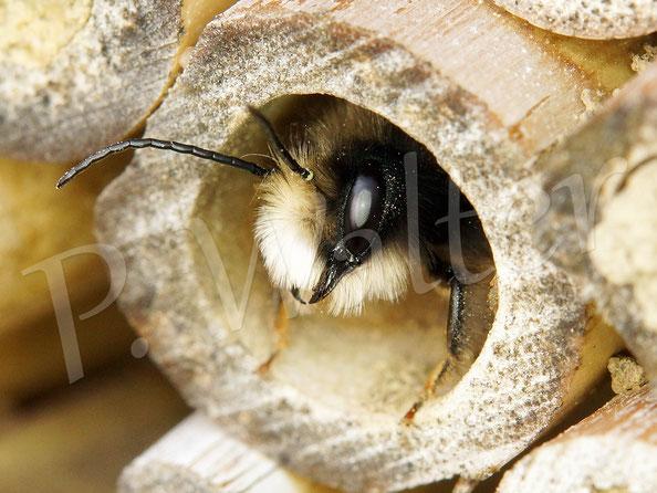 Bild: Männchen der Gehörnten Mauerbiene, Osmia cornuta; hohler Bambusstengel