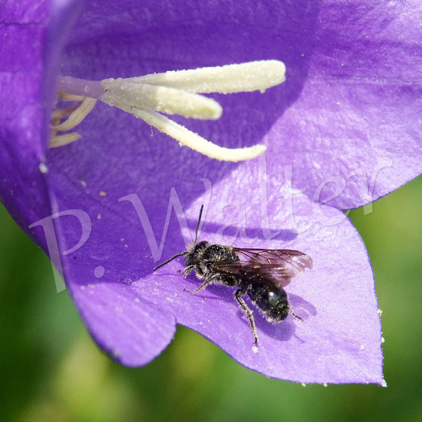 Bild: Glockenblumen-Scherenbiene, Osmia rapunculi, an der Blüte der Pfirsichblättrigen Glockenblume
