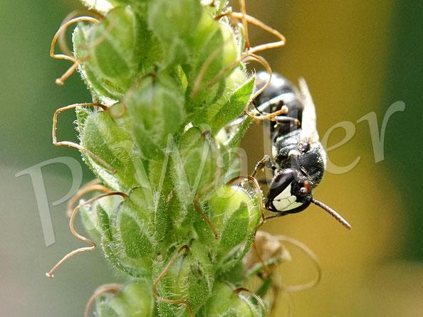Bild: eine Maskenbiene, Hyleaus spec., mit ihrer typischen Kopfzeichnung