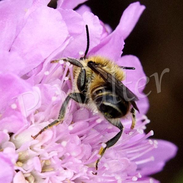 Bild: Wald-Schenkelbienen-Männchen, Macropis fulvipes