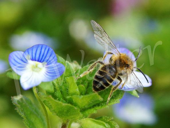 Bild: eine Sandbiene am Gamander-Ehrenpreis