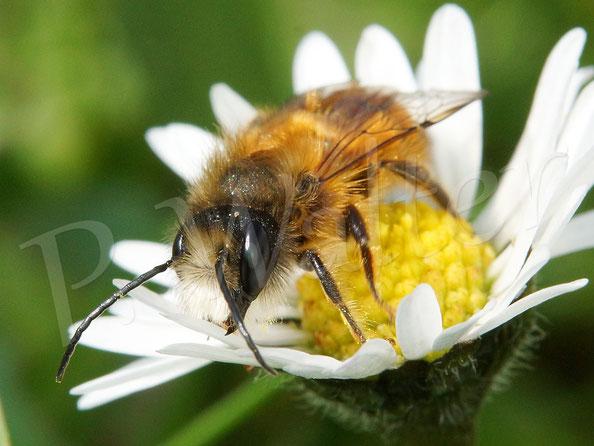 Bild: Männchen, Rostrote Mauerbiene, Osmia bicornis, am Gänseblümchen