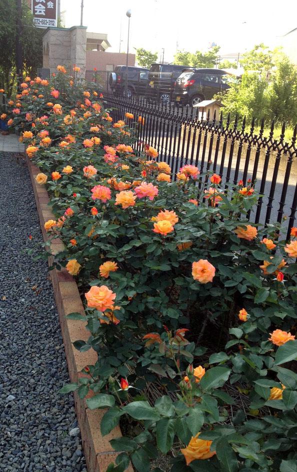 ホサナ教会 アンネのバラ 花壇に咲き誇っている。