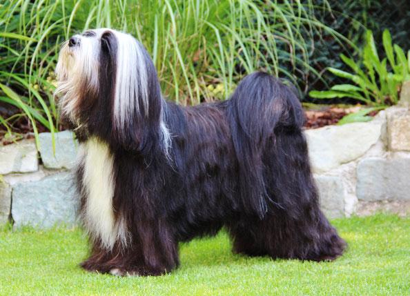 Tibet Terrier Rüde, schwarz, weiße Abzeichen, August 2020