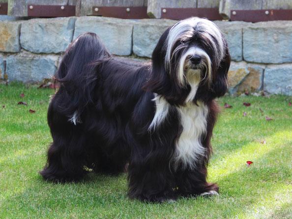Tibet Terrier Rüde, schwarz, weiße Abzeichen, September 2018