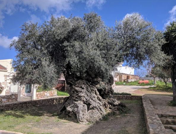 Der älteste Olivenbaum der Welt