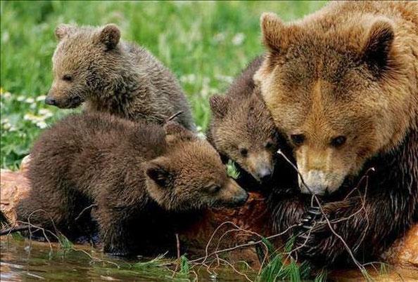 Fotografia d'arxiu. Femella d'ós bru amb les seves cries