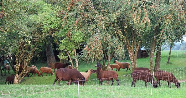 Juraschafherde mit Lämmer im Obstgarten
