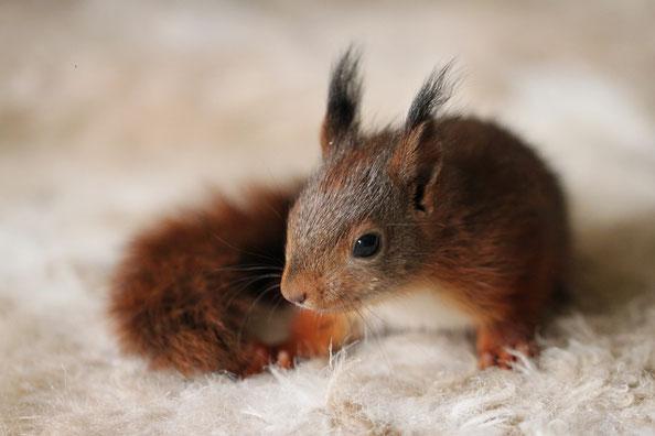 Eichhörnchen Baby Findelkind squirrel