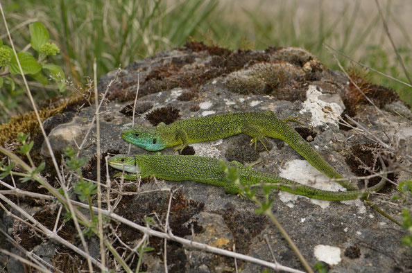 Pärchen der Smaragdeidechse (Lacerta bilineata), unten Weibchen, oben Männchen
