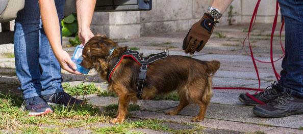 Gefunden! Die 10jährige Dackeldame Cleo ist nur einer von vielen Hunden, die im Mantrailing e.V. die Personensuche lernen.