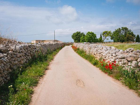 Sehr typisch für Menorca sind die zahlreichen Trockenmauern