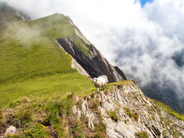 Die Schafe finden die satte Wiese auf der einen Seite der Bretterwandspitze auch super.