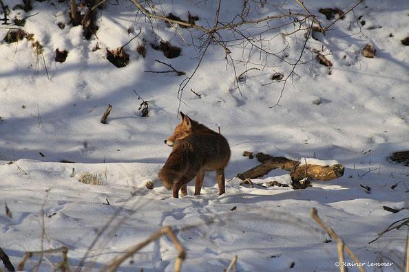 Fuchs im Schnee am Nisterufer