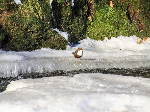 Wasseramsel an der Nister