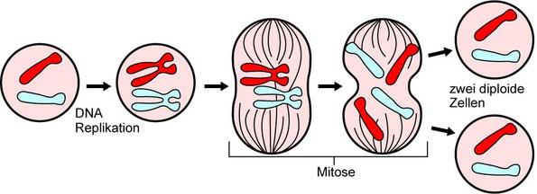 Die Hauptereignise der Mitose (Q: Wikipedia)