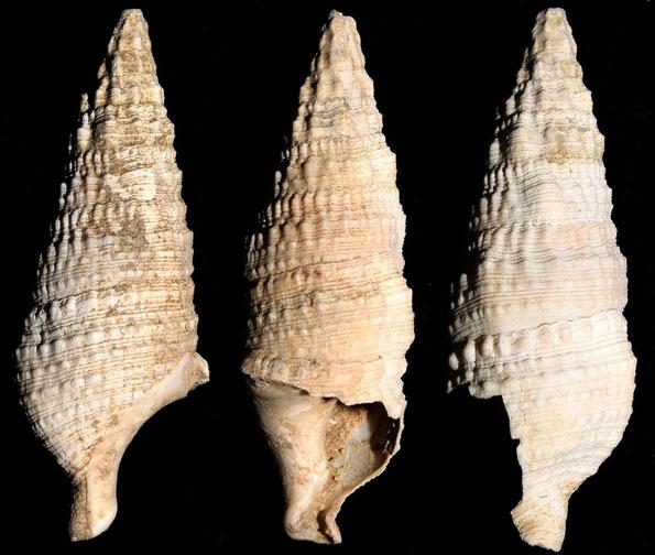 Cerithium crenatum, Macchia della Turchina (Monteromano, VT)