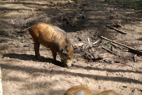 Journalisten sind Trüffelschweine: Lokaljournalismus (Blog) mvmedia - Schwein mit Schnauze am Boden.