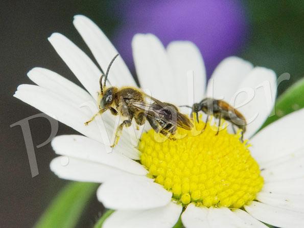 Bild: Wald-Schenkelbienen-Männchen, Macropis fulvipes, Wiesen-Margerite