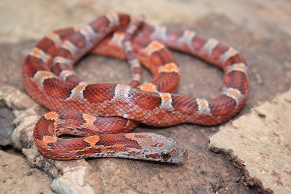 1.0 Bloodred Masque het Sunkissed, Hypo striped, Charcoal ph. Amel Anery