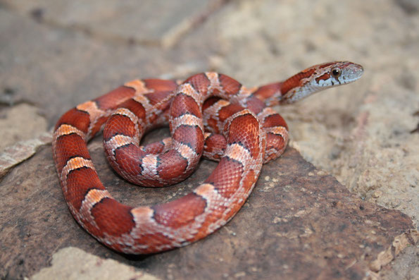 0.1 Bloodred het Sunkissed, Hypo striped, Charcoal ph. Amel Anery von 2014