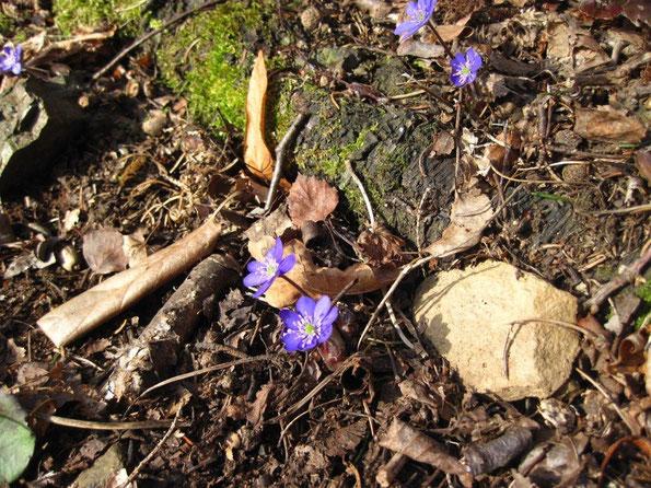 Leberblümchen Anfang März im Elstertal