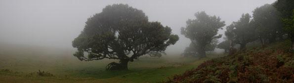 als Reisen noch möglich war: Lorbeerwald am Lagoa do Fanal auf Madeira (Foto: Schumi)