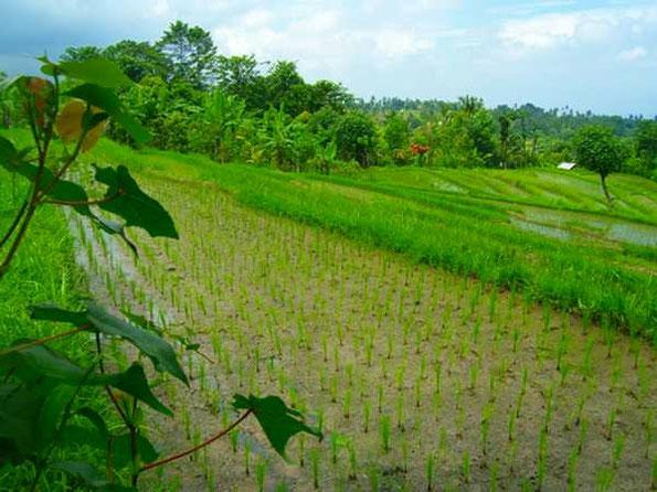 Reisfelder mit Aussicht