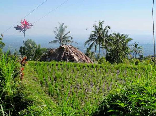 Dreieckiges Reisfeld mit Reedgedecktem Bauernhaus und Blick zur Küste