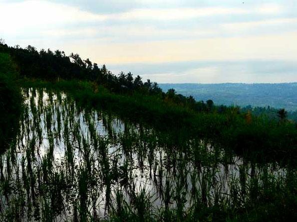 Himmelsspiegelndes Reisfeld