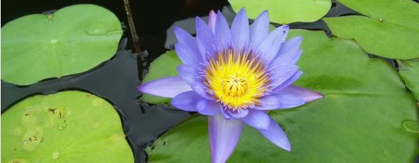 Lotos flower