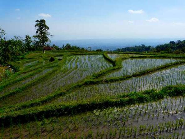 Himmelspiegelnde Reisfelder mit Blick zur Küste