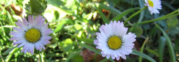 Gänseblümchen Heilkraut, Naturkosmetik, Kurs bei FuchsundHase im Emmental