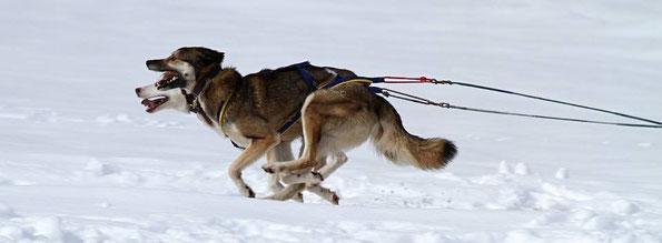 Foto Schlitten ziehender Hunde im Schnee