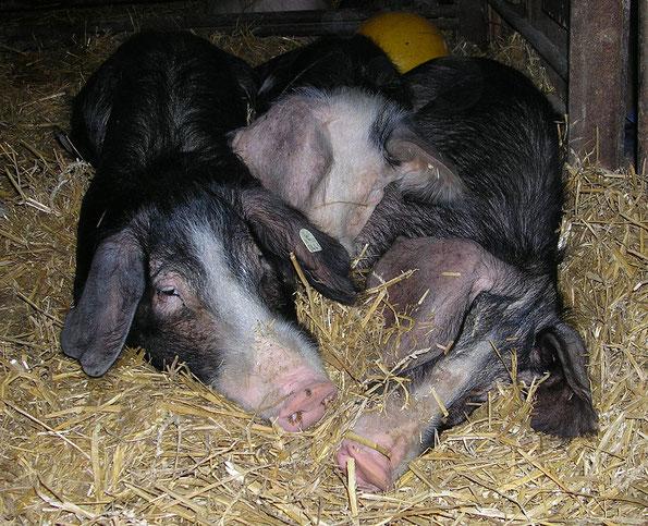 Schweine auf Stroh