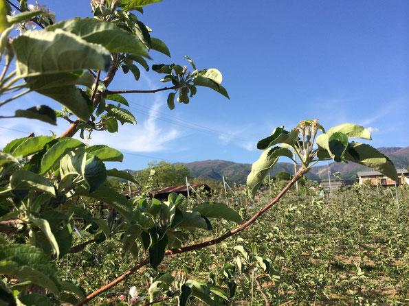 りんご畑と烏帽子岳