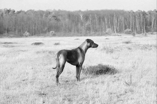 Rhodesian Ridgeback im Rasseportrait