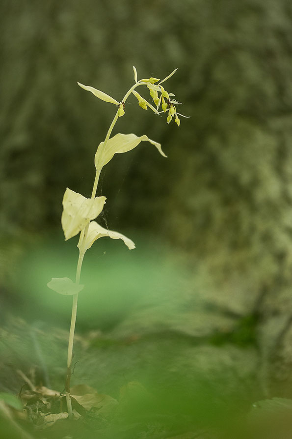 farblose Form von E. leptochila