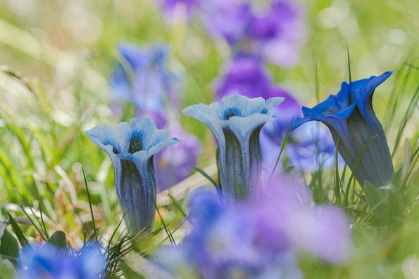 hellblau gefärbter Enzian