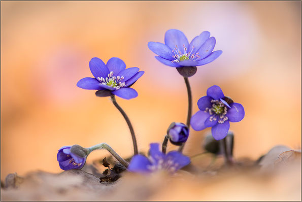 """Leberblümchen in der """"normalen"""" blau-violetten Form"""