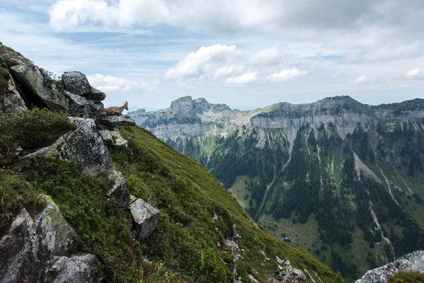 Einzelne Steinböcke wählen Vorsprünge mit Weitblick ins Tal, so wie diese Steingeiß