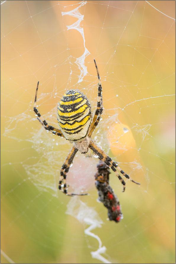 Wespenspinne mit Stabiliment und gefangenem Blutströpfchen (Zygaena filipendulae).