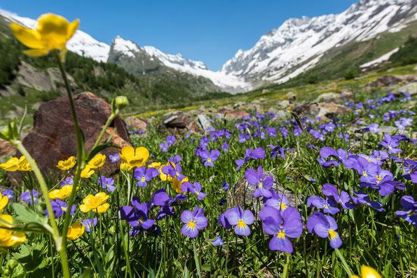 Alpenveilchen im hinteren Lötschental