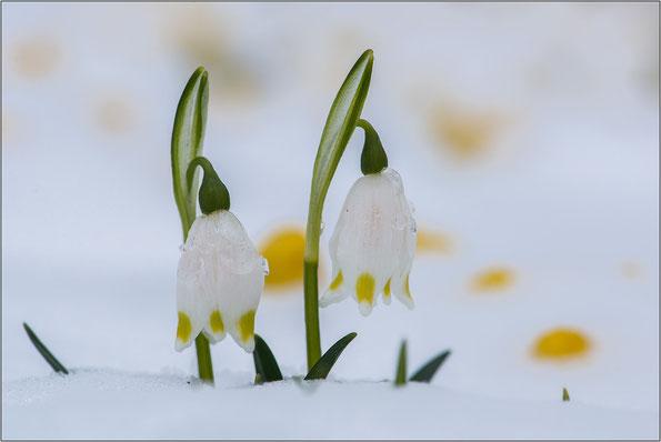 Märzenbecher im Schnee - im Februar keine Seltenheit